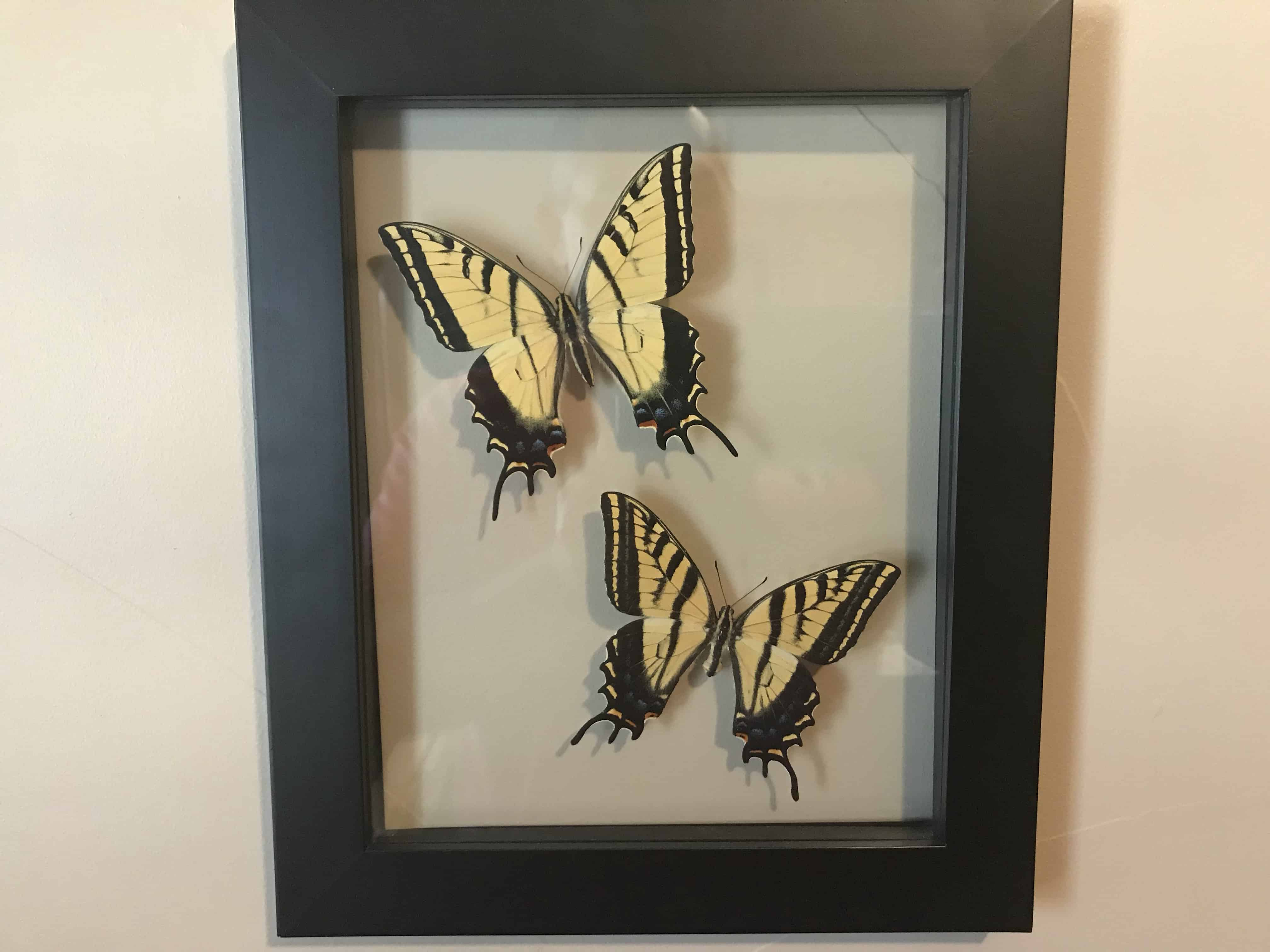 Male and Female Two-Tailed Swallowtail Butterflies