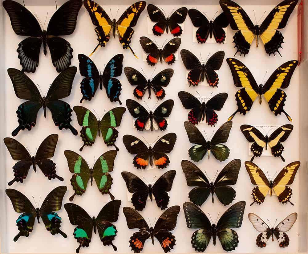 Butterflies by Steve Fisher